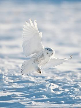 USA, Minnesota, Vermillion. Snowy Owl Landing on Snow by Bernard Friel