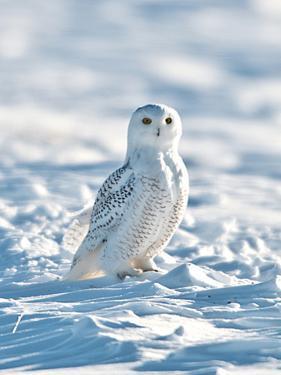 USA, Minnesota, Vermillion. Snowy Owl Perched on Snow by Bernard Friel