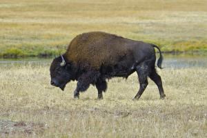 USA, Wyoming. Yellowstone National Park Bison, along Fountain Flat Drive by Bernard Friel