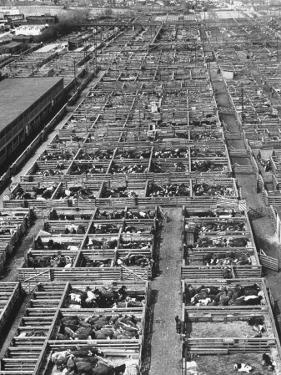 Beef Cattle Being Held in Large Pens at the Union Stockyards by Bernard Hoffman