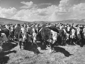 Beef Cattle Standing in a Pasture on the Abbott Ranch by Bernard Hoffman