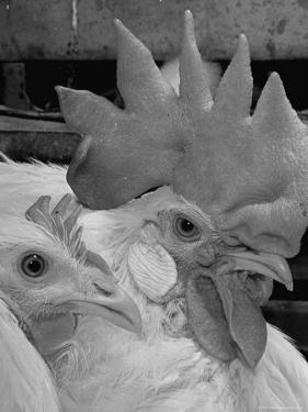 Close Up of View of Two White Leghorns, That Hatched at the Same Time by Bernard Hoffman