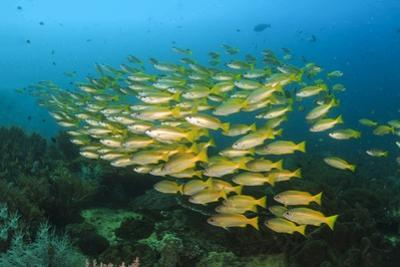Big School of Yellow Snappers