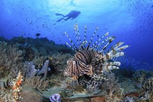 Lion Fish and Scuba Diver by Bernard Radvaner