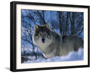 Grey Wolf Male in Snow, Norway by Bernard Walton