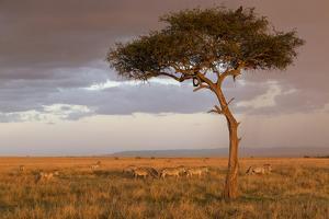 Common Zebra (Equus quagga) herd, Masai Mara National Reserve by Bernd Rohrschneider