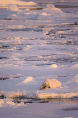 Polar Bear (Ursus maritimus) adult, sleeping on icefloe at sunset, Erik Eriksenstretet, Svalbard by Bernd Rohrschneider