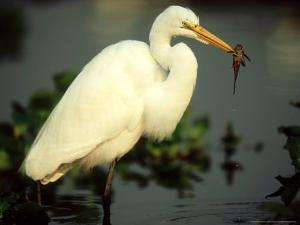 Great Egret, with Fish, Mato Grosso, Brazil by Berndt Fischer