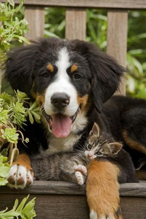 Bernese Mountain Dog Three Month of Puppy