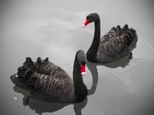 Black Swan by Bert Kaufmann Photography