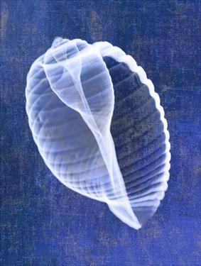 Banded Tun Shell (indigo) by Bert Myers