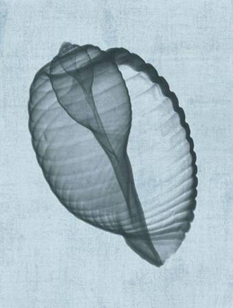 Banded Tun Shell (light blue) by Bert Myers