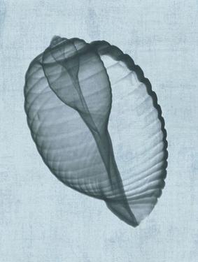 Banded Tun Shell (light blue) by Bert Myers