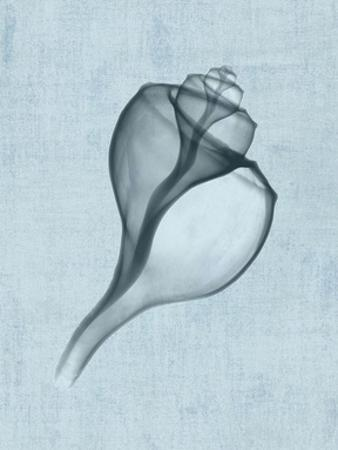 Channelled Whelk (light blue)