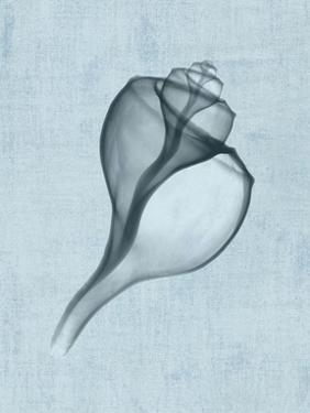 Channelled Whelk (light blue) by Bert Myers