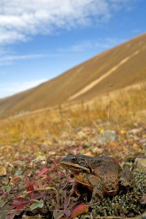 Caucasian Brown Frog (Rana Macrocnemis - Holtzi) In Habitat