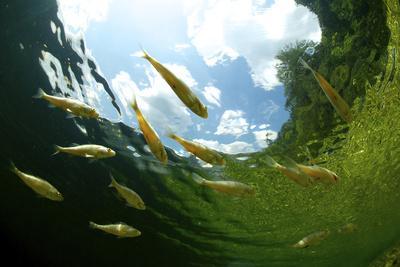 School Of Young European Perch (Perca Fluviatilis) In Altausseer Lake, Austria, July