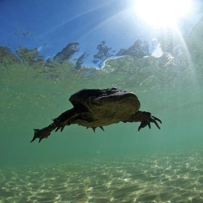 Titicaca Water Frog (Telmatobius Culeus) Swimming Underwater, Lake Titicaca, Bolivia