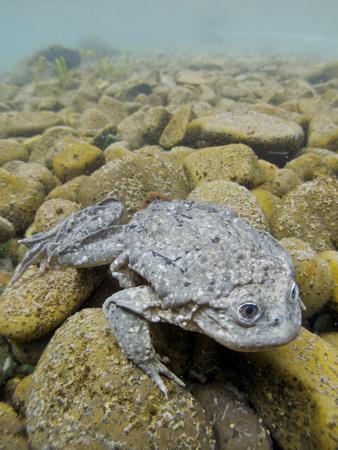 Titicaca Water Frog (Telmatobius Culeus) Underwater Resting on the Lake Bed, Lake Titicaca, Bolivia