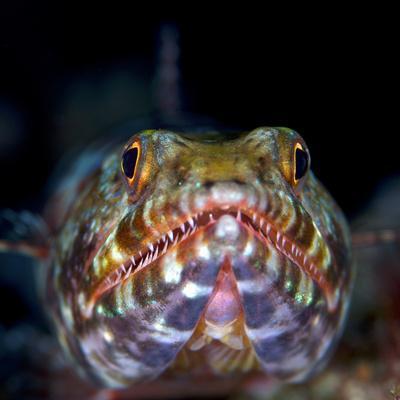 Variegated lizardfish, Bismarck Sea, Vitu Islands, West New Britain, Papua New Guinea