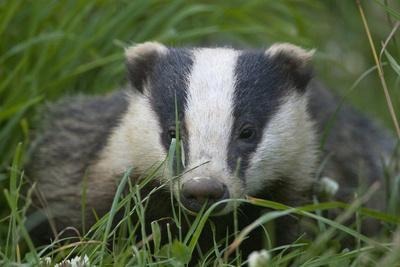 Adult Badger (Meles Meles) in Long Grass, Dorset, England, UK, July
