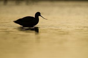 Avocet (Recurvirostra Avosetta) Silhouetted in Water at Sunrise, Brownsea Island, Dorset, UK by Bertie Gregory