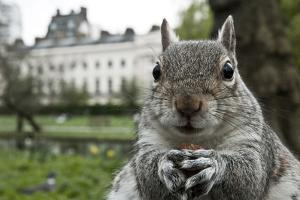 Close-Up of Grey Squirrel (Sciurus Carolinensis) Holding a Nut by Bertie Gregory