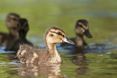 Mallard (Anas Platyrhynchos) Ducklings, Bradfield Nature Reserve, Berkshire, England, UK, May