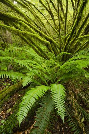 Temperate Rainforest With Vine Maple (Acer Circinatum) And Fern