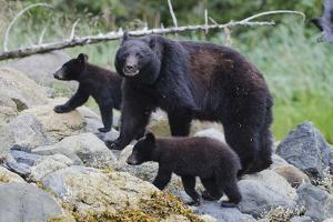 Vancouver Island Black Bear (Ursus Americanus Vancouveri) Mother With Cubs On A Beach by Bertie Gregory