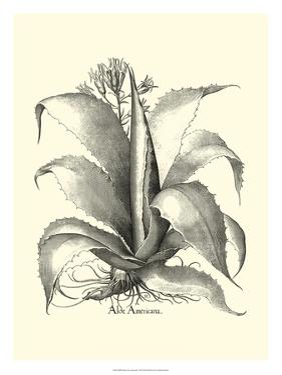Besler Aloe Americana by Besler Basilius