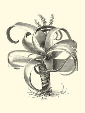 Besler Aloe by Besler Basilius