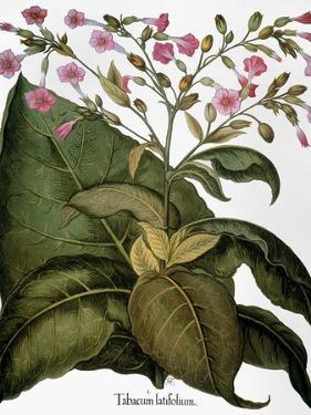 Botany: Tobacco Plant by Besler Basilius