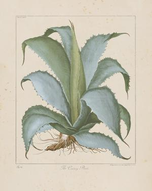 Century Plant by Besler Basilius