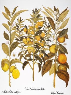 Citron And Orange, 1613 by Besler Basilius
