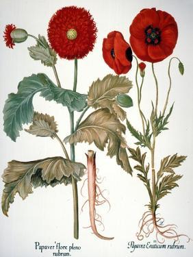 Garden Poppy by Besler Basilius