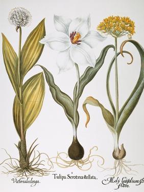 Garlic, 1613 by Besler Basilius