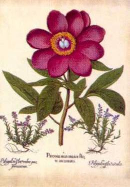 L'Herbier V by Besler Basilius