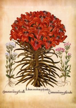 L'Herbier VII by Besler Basilius
