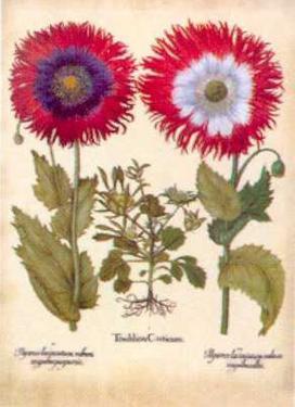 L'Herbier VIII by Besler Basilius