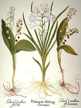Lily-Of-The-Valley by Besler Basilius