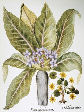 Mandrake And Buttercup by Besler Basilius