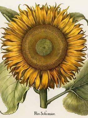 Sunflower by Besler Basilius