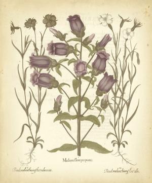 Tinted Besler Botanical II by Besler Basilius