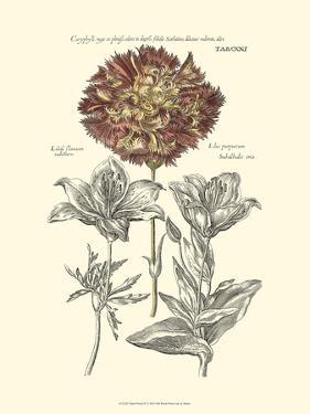 Tinted Floral IV by Besler Basilius