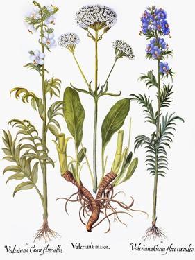 Valerian Flowers, 1613 by Besler Basilius