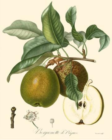 Pears by Bessa