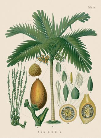 Betel Nut Palm - From Hermann Koehler's Medicinal Plants