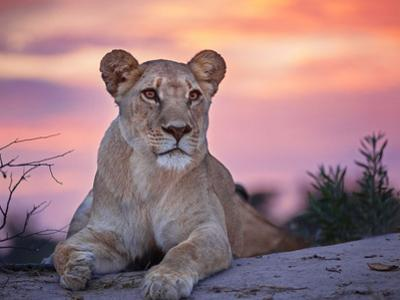 Wild cat lionessa at sunset in South Africa by Beth Stewart