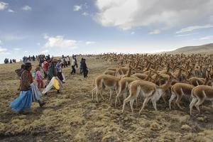A Line of Quechua Villagers Herd a Group of Wild Vicuna by Beth Wald